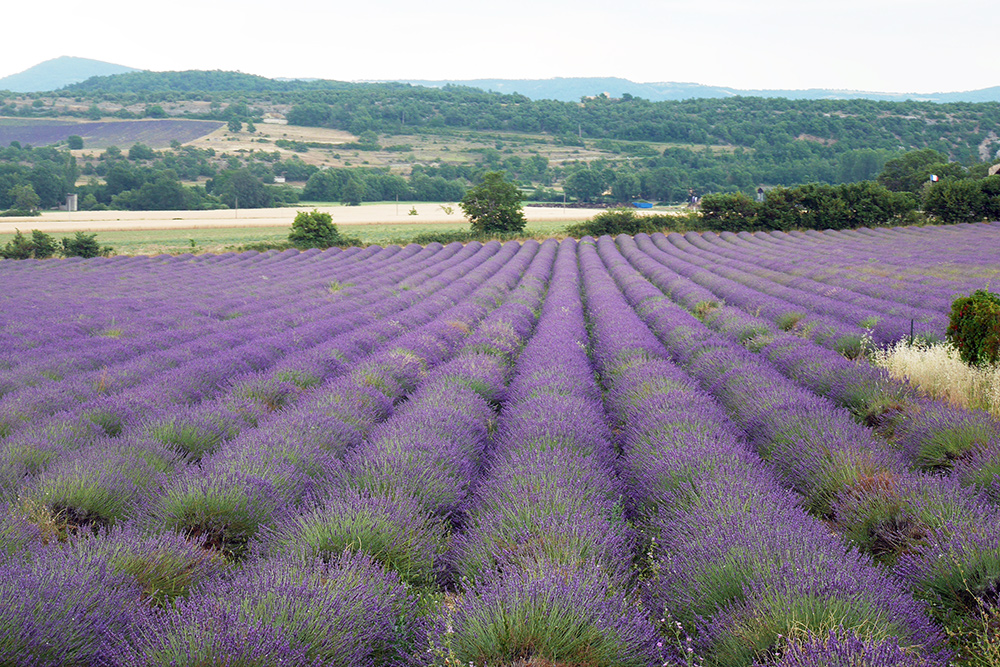 Lavender-field-in-Provence-France
