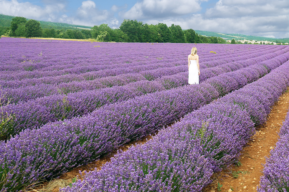 lavender-field-in-Provence